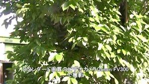 Canon FV300で晴れの日に撮影した柿の木。