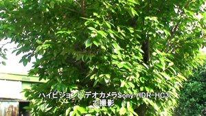 Sony HDR-HC3で晴れの日に撮影した柿の木。