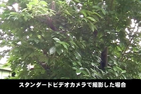 スタンダードビデオカメラで撮影した柿の木。
