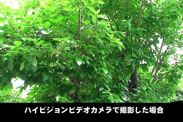 ハイビジョンビデオカメラで撮影した柿の木。