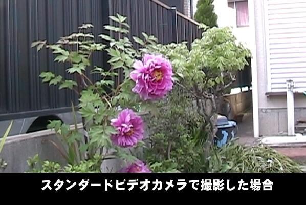 スタンダードビデオカメラで撮影したボタンの花。