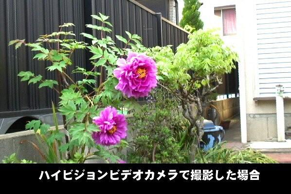 ハイビジョンビデオカメラで撮影したボタンの花。