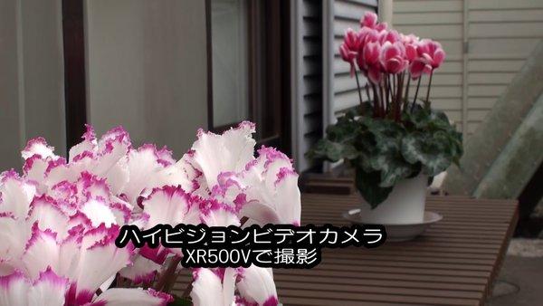 ハイビジョンビデオカメラSONY XR500Vで撮影。シクラメンその1